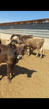 Продам годовалых бычков