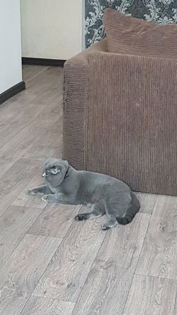 Вязка кота с родословной, для прямоухих, и веслоухих дам!