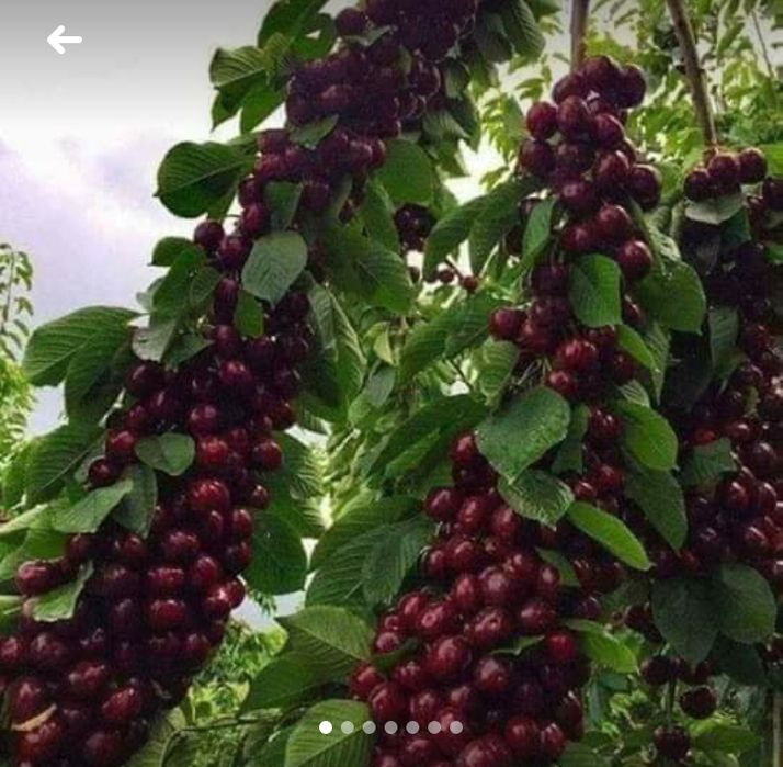 Pomi fructiferi columnari -pitici Breaza - imagine 1