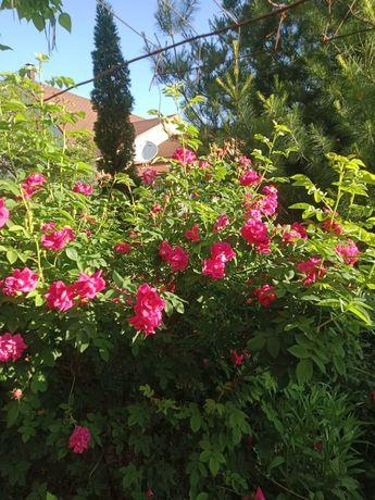 Садовые цветы, разные многолетние декоротивные растения, хвойные