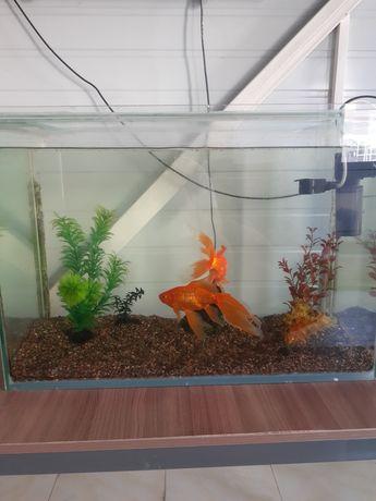 Аквариум с двумя золотыми рыбками