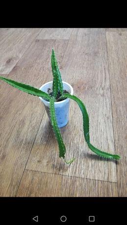 Продам кактус Питахайя