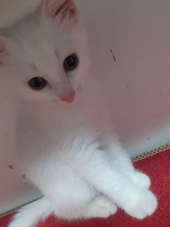Продаю котёнок, привык к лотку (девочка)
