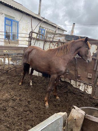 Продам жирных лошадей разных возрастов, крс жирные, телята подсос