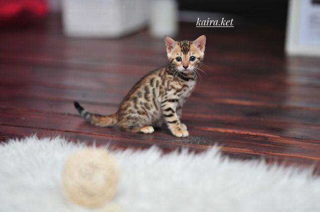 Элитные бенгальские котята