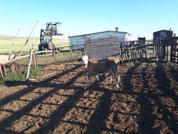 Продам корову первотелку и телёнка