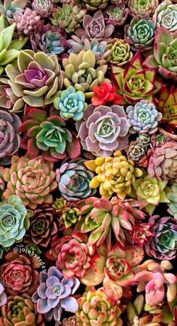Echeveria (Эхеверии) розы пустыни, суккуленты из частной коллекции