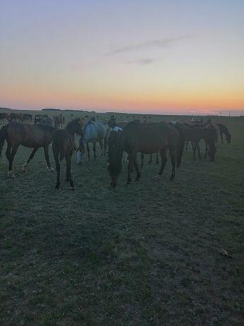 продам лошадей кобыла с жеребёнком 450000 кобыла жеребая 300000 байтал