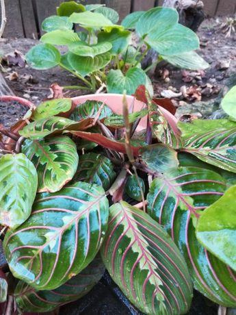 planta exotica superba
