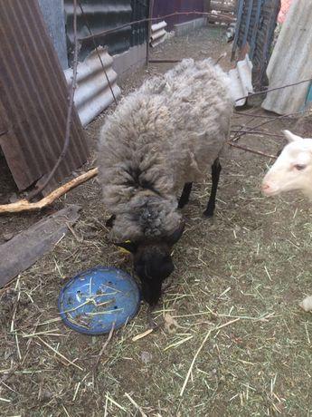 Романовская овца Обмен