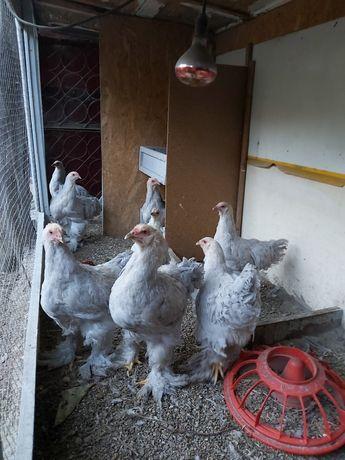 Цыплята изабелла продам.