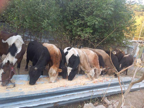 Продам бычков и телочек баран и коня.