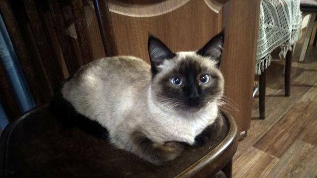 Потерялся кот сиамской породы.