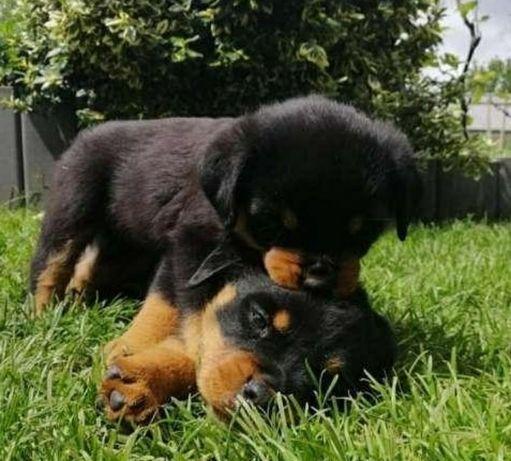 Продам щенков от шикарных родителей ротвейлера