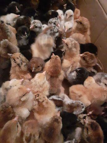 Цыплята домашние (двух недельные)