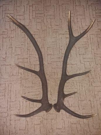 Vând trofee de cerb carpatin