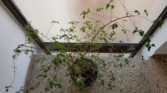Pom ornamental