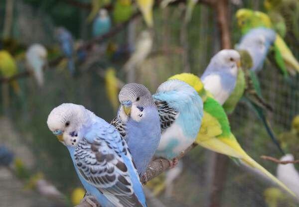 Отборные попугаи, молодые, от 2 мес