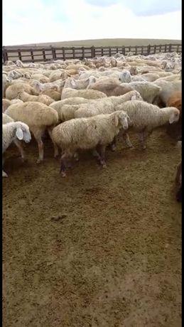 Продам баранов, овец, козы племянной породы Байыс