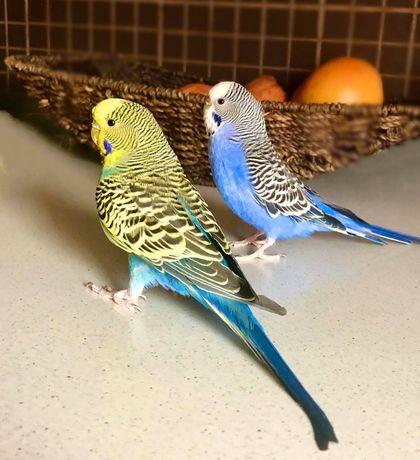 Papagali peruși de apartament