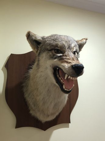 Настоящая голова Волка