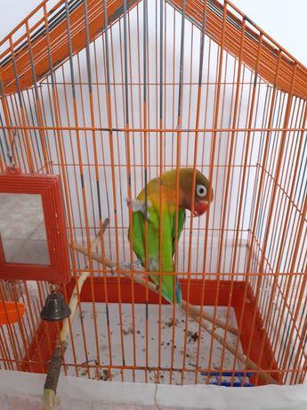 Продам  попугая неразлучника