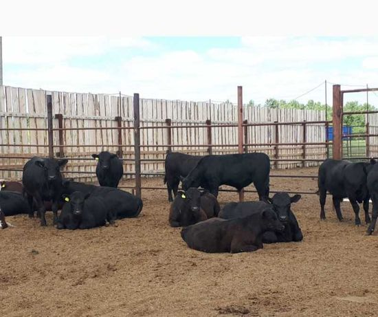 Коровы бычки телята семинталы ангусы голштейн герефорд