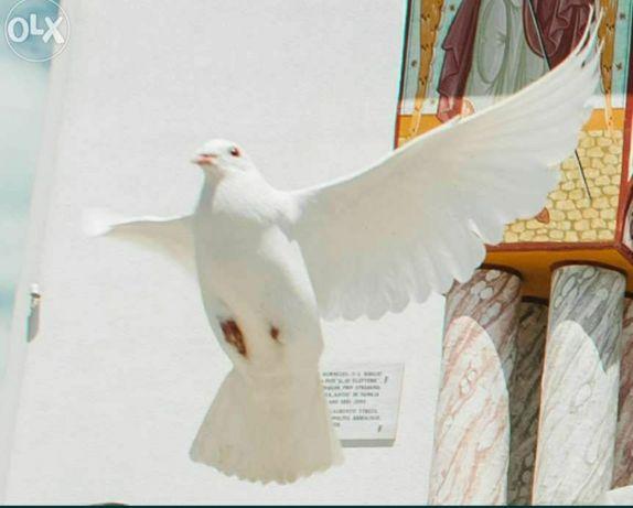 Porumbei albi pentru nunti si evenimente