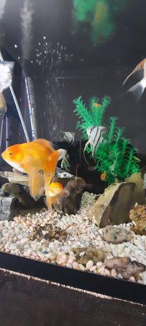Золотые рыбки продам срочно