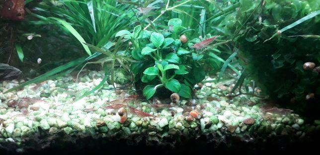 Креветки вишни для аквариума