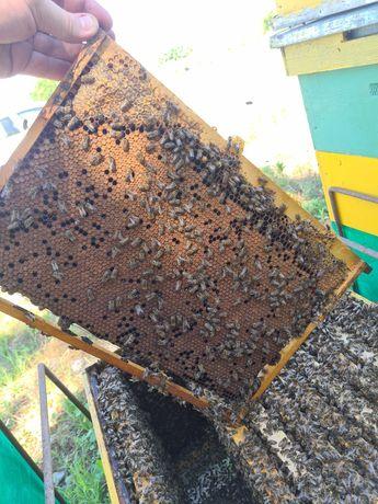 5 Familii albine cu sau fara lada