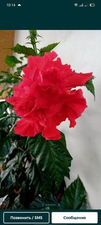 Продам гибискус (китайская роза)