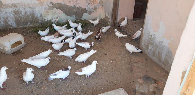 Птицы, (животное) голуби