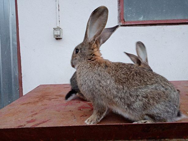 Vând iepuri  belgieni