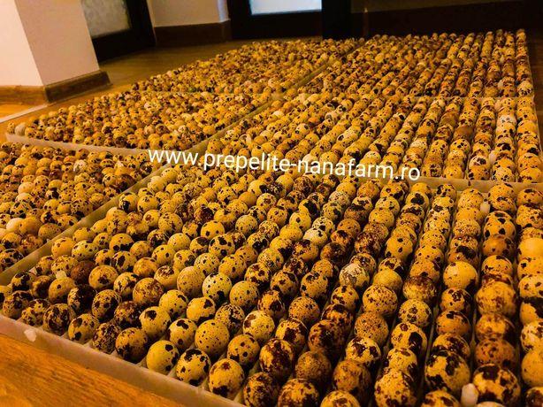 Oua de prepelita Auriu de manciuria rasa mixta