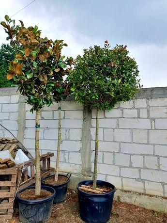 Magnolie grandiflora Fhotinia salcam robinia catalpa prunus pissardi