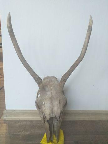 Рога рог елен еленски лопатар сръндак сърна роги трофей ловен ловци