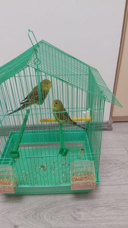 Pereche papagali perus