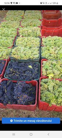 Vând struguri de vin recoltați în lădițe asigur transport oriunde în t