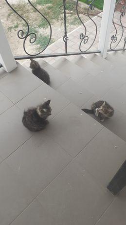 Котята крыселовы