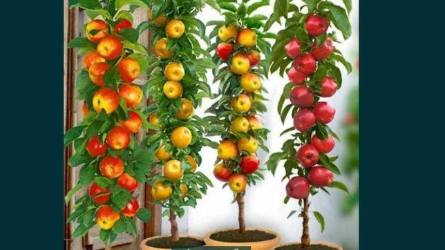 Pomi fructiferi de interior apartament