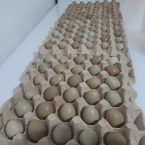 Продам яйцо фазана