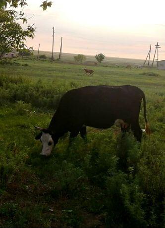 Продам корову с телятами