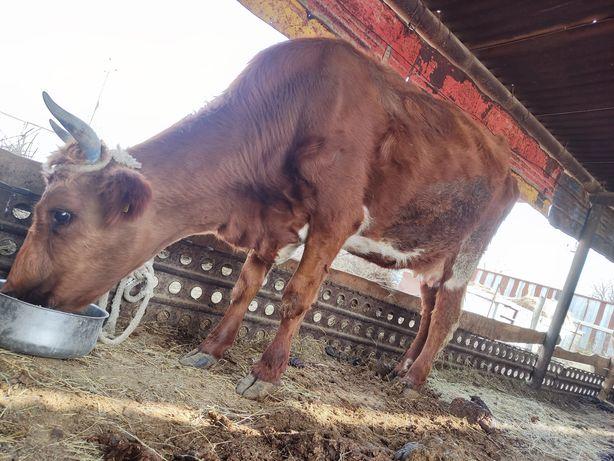 Ұрғашы сиыр сатылады, продается корова