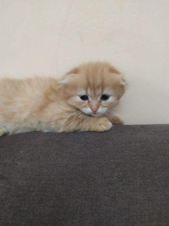 вислоухий рыжик котенок, мальчик