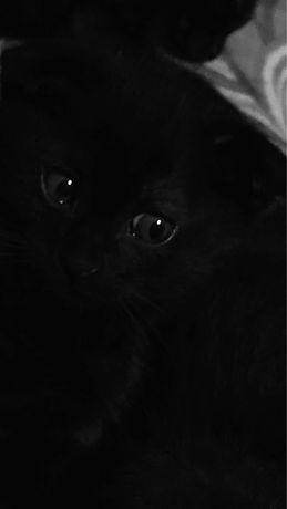 Шотландские вислоухие котята.Скоттиш фолд