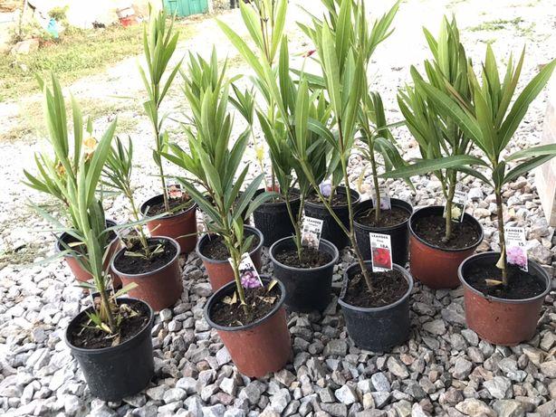 Leandru/Leandrii diverse soiuri rare Flori Plante
