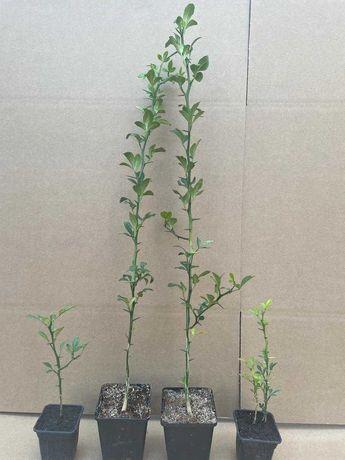 Lamai rezistent la ger ( Poncitus Trifoliata)