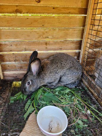 Продам крола порода шиншилла1 год