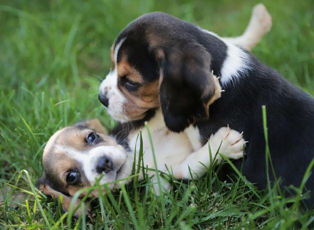 Pui beagle 3 luni